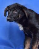 Puppy op een blauwe achtergrond Stock Foto's