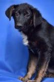 Puppy op een blauwe achtergrond Stock Foto