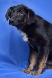 Puppy op een blauwe achtergrond Royalty-vrije Stock Fotografie