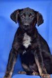 Puppy op een blauwe achtergrond Royalty-vrije Stock Foto