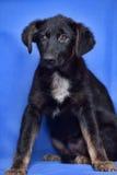 Puppy op een blauwe achtergrond Stock Fotografie