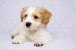 Puppy op een blauwe achtergrond wordt gelegd die Stock Afbeeldingen