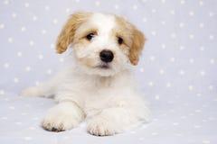 Puppy op een blauwe achtergrond wordt gelegd die Royalty-vrije Stock Foto