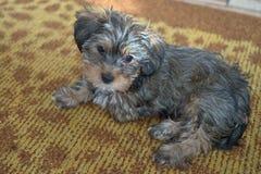 Puppy op een geel-bruin tapijt Stock Foto