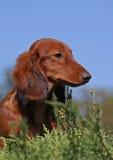 Puppy op een hemelachtergrond Stock Afbeelding