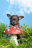 Puppy op giftige paddestoel Stock Foto's
