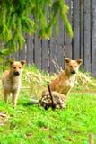 Puppy op het gras Stock Foto