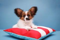 Puppy op hoofdkussen op een blauw royalty-vrije stock afbeeldingen