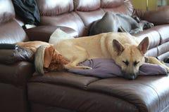 Puppy op meubilair Royalty-vrije Stock Afbeelding