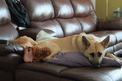 Puppy op meubilair Royalty-vrije Stock Afbeeldingen