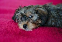 Puppy op rode deken Stock Foto's