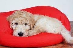 Puppy op rood kussen Stock Foto's