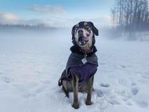 Puppy op Sneeuwgebied Anchorage Alaska Royalty-vrije Stock Afbeeldingen