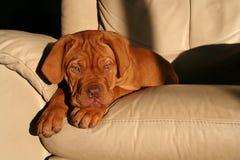 Puppy op stoel Stock Fotografie