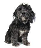 Puppy op Wit Royalty-vrije Stock Afbeeldingen