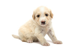 Puppy op wit Stock Fotografie
