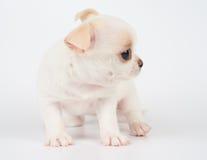 Puppy op Wit Stock Afbeelding