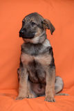 Puppy on an orange background Royalty Free Stock Photography