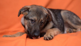 Puppy on an orange background Stock Images