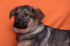 Puppy on an orange background Stock Image