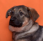 Puppy on an orange background Royalty Free Stock Photo