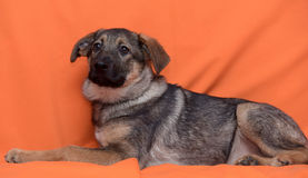 Puppy on an orange background Stock Photos