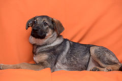 Puppy on an orange background Stock Photography