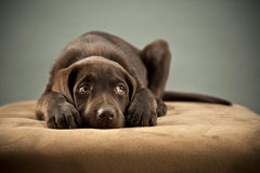 Puppy on ottoman. Puppy blocking its ears and looking away Royalty Free Stock Photo
