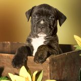 Puppy out of the box. Cute puppy royalty free stock photo