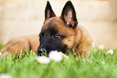 Puppy. Outdoor shoot of Belgian shepherd malinois Royalty Free Stock Photography
