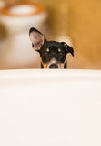 Puppy outside tub. A Rat Terrier puppy stands outside a bathtub in a bathroom Royalty Free Stock Image