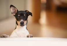 Puppy outside tub. A Rat Terrier puppy stands outside a bathtub in a bathroom Stock Image