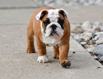 Puppy outside Royalty Free Stock Photos