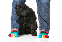 Puppy and owner Royalty Free Stock Photography