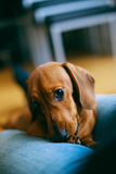 Puppy and owner Royalty Free Stock Image