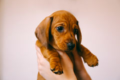 Puppy in owner`s hands. 8 weeks old smooth hair brown dachshund puppy isolated in the hands of its female owner Stock Images