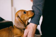 Puppy and owner. 8 weeks old smooth hair brown dachshund puppy and its male owner stock photography