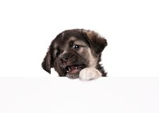 Puppy with paper Royalty Free Stock Image