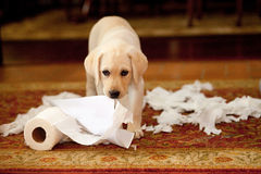 Puppy Paper Trail. Lab puppy tears up toilet paper and trash Royalty Free Stock Photo
