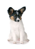 Puppy papillon Royalty Free Stock Photo
