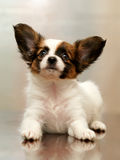 Puppy papillon. Purebred puppy papillon on the table royalty free stock photos