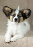 Puppy Papillon Royalty Free Stock Images