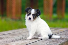 Puppy Papillon Stock Images