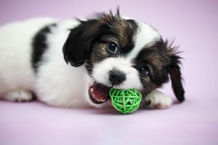 Puppy Papillon biting ball Stock Images