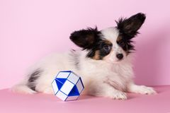 Dog with toy. Puppy of papillon breed on a pink background Stock Images