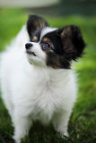 Puppy Papillon, close-up Royalty Free Stock Images
