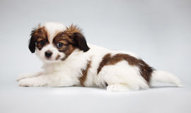 Puppy Papillon on a gray Royalty Free Stock Photo