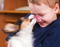 Puppy papillon licking a boy Royalty Free Stock Image