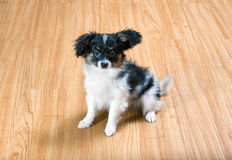 Puppy Papillon sitting on the floor Royalty Free Stock Photo