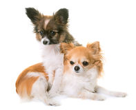 Puppy pappillon dog and chihuahua royalty free stock photography